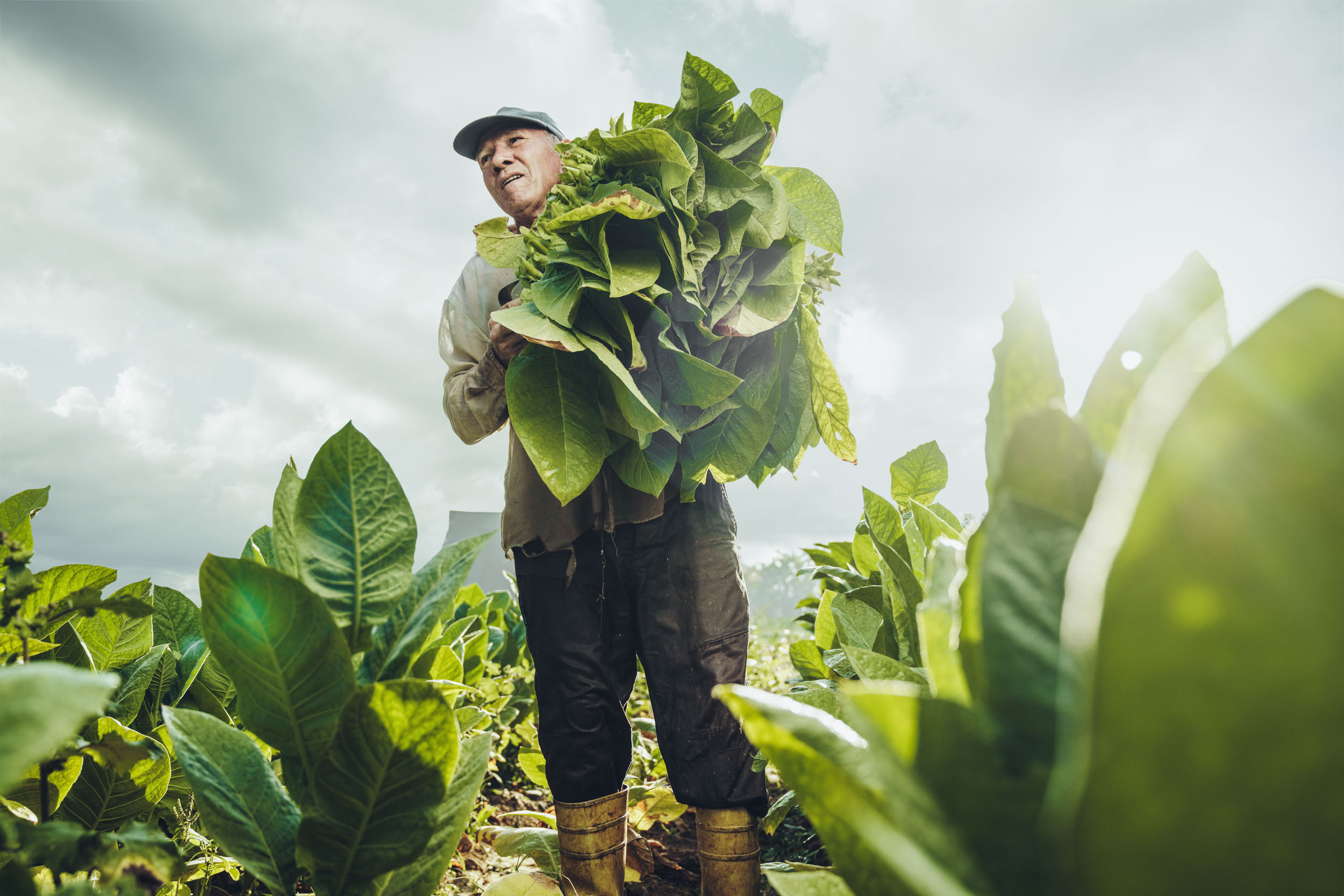Male tobacco farmer stands tall holding freshly picked tobacco leaves under the extreme morning heat on a farm in Vinales Cuba