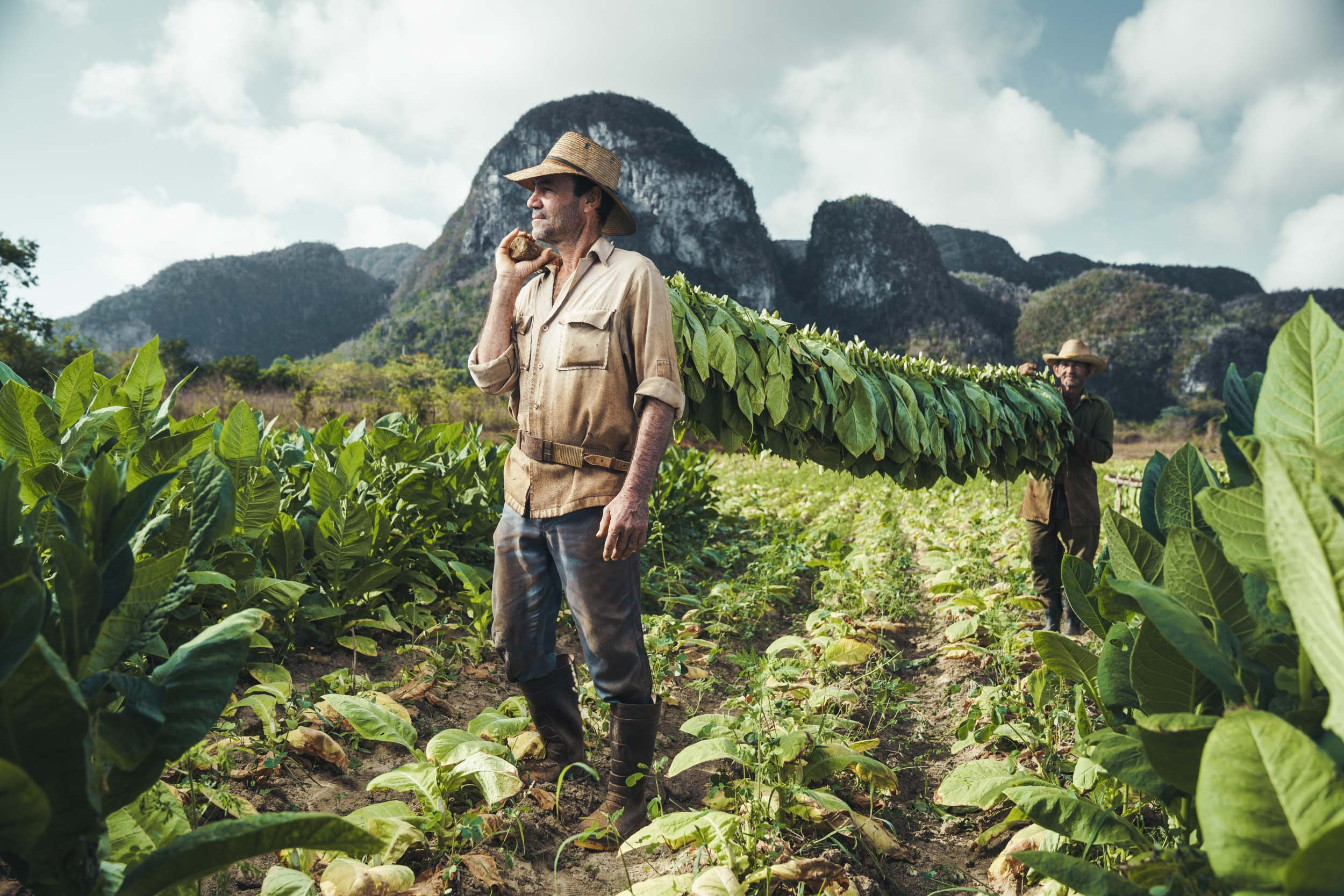 Two tobacco farmers hold a pole with freshly picked tobacco leaves on a farm in Vinales Cuba